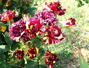 El placer y dolor que nos proporcionan las rosas